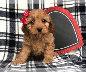 Cavapoo Dog for Adoption in CEDAR LANE, Pennsylvania USA