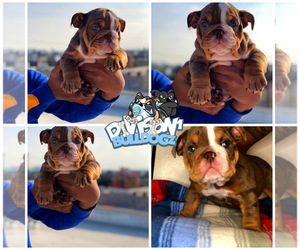 English Bulldog Puppy for sale in LOS ANGELES, CA, USA