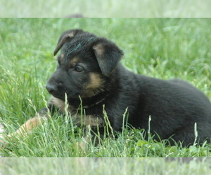 German Shepherd Dog Puppy for Sale in HAMILTON, Virginia USA
