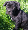 Cane Corso Puppy For Sale in OAK RUN, CA