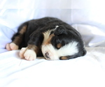 Small #8 Bernese Mountain Dog