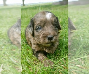 Australian Shepherd-Poodle (Miniature) Mix Puppy for sale in TAYLOR, TX, USA