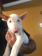 Bull Terrier Puppy for sale in PITTSBURG, CA, USA
