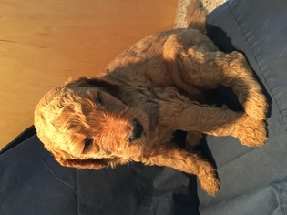 Poodle (Standard) Puppy For Sale in SHERIDAN, CA, USA