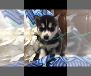 Siberian Husky Puppy for Sale in FORT WAYNE, Indiana USA