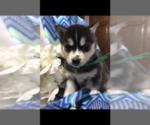 Puppy 0 Siberian Husky