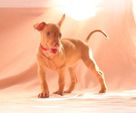 Puppy 2 Pharaoh Hound