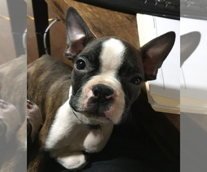 Boston Terrier Puppy for Sale in INTERCESSION CITY, Florida USA