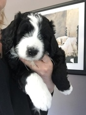 Bernese Mountain Poo Puppy For Sale in SPRINGFIELD, IL, USA
