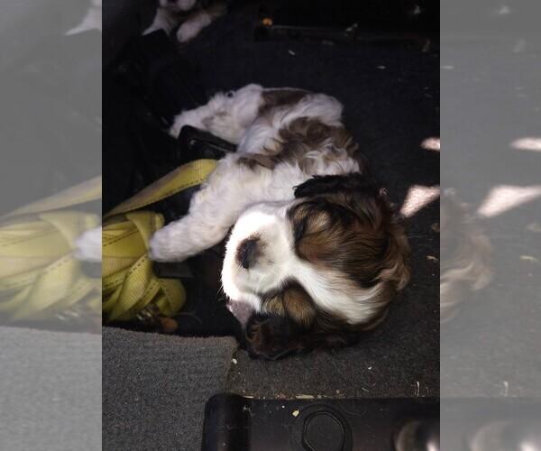 PuppyFinder com - View Ad: Photo #4 of Listing Cocker Spaniel Puppy