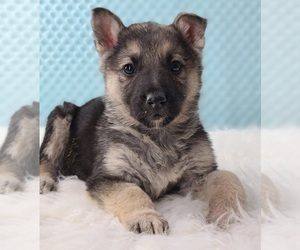 German Shepherd Dog Puppy for sale in WARREN, MA, USA