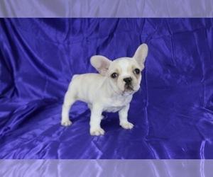 French Bulldog Puppy for Sale in ATHERTON, California USA