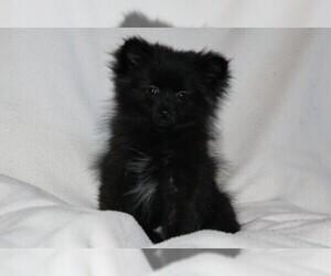 Pomeranian Puppy for Sale in PLATTE CITY, Missouri USA