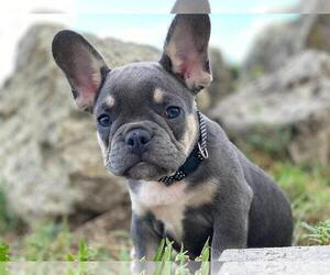 French Bulldog Dog for Adoption in METUCHEN, New Jersey USA