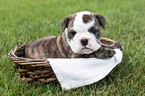 Bulldog Puppy For Sale in PLYMOUTH, OH, USA