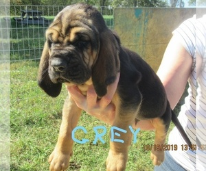 Bloodhound Puppy for Sale in TAYLORSVILLE, Kentucky USA