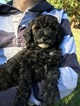 Poodle (Miniature) Puppy For Sale in BATTLE GROUND, Washington,