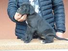 Cane Corso Puppy For Sale in CHICAGO, IL, USA