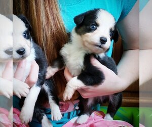 Miniature Australian Shepherd Puppy for sale in MILTON, WI, USA