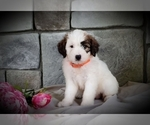 Puppy 7 Poodle (Miniature)-Saint Bernard Mix