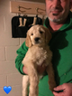 Golden Retriever-Goldendoodle Mix Puppy For Sale in ATWOOD, IL, USA