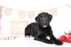 Labradoodle Puppy For Sale in NAPLES, FL,