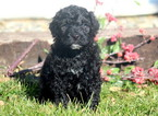 Portuguese Water Dog Puppy For Sale in MOUNT JOY, PA,