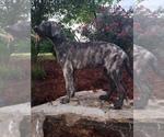 Small #1 Irish Wolfhound