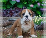 Puppy 10 English Bulldog