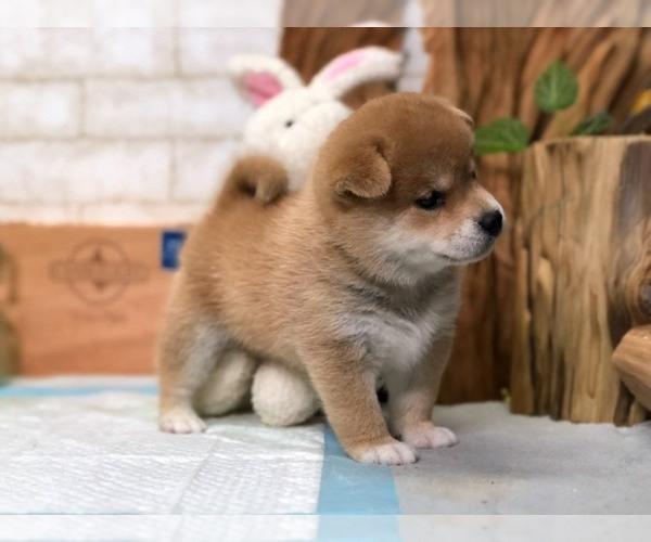 Medium Photo #4 Shiba Inu Puppy For Sale in LOS ANGELES, CA, USA