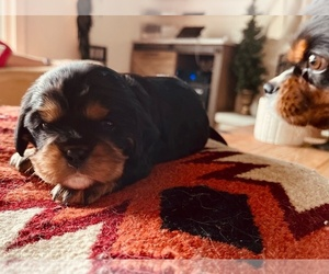 Cavalier King Charles Spaniel Puppy for Sale in MIDDLEVILLE, Michigan USA