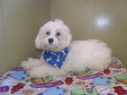 Poodle (Standard) Puppy For Sale in PATERSON, NJ, USA