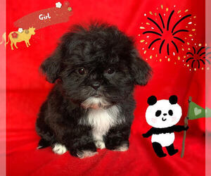 Shih Tzu Puppy for Sale in SAN FRANCISCO, California USA