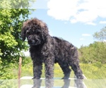 Small #40 Goldendoodle