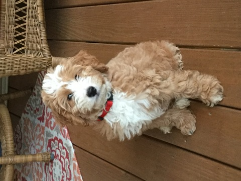 Goldendoodle-Poodle (Miniature) Mix puppy