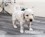 Small Photo #6 Goldendoodle Puppy For Sale in CEDAR GAP, MO, USA