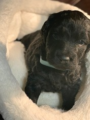 Labradoodle Puppy For Sale in FOUNTAIN, CO, USA