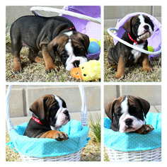 Olde English Bulldogge Puppy For Sale in DERBY, KS, USA