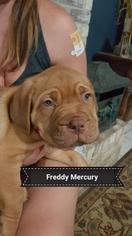 Dogue de Bordeaux Puppy For Sale in ARLINGTON, TX, USA