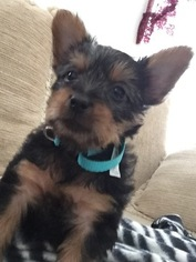 Silky Terrier Puppy for sale in SKIATOOK, OK, USA