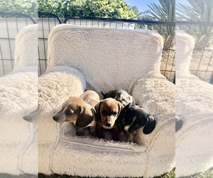 Dachshund Puppy for sale in DRIPPING SPGS, TX, USA