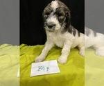 Puppy 0 Saint Berdoodle