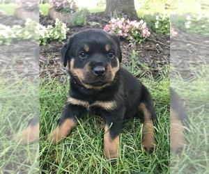 Rottweiler Puppy for sale in GOSHEN, IN, USA