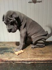 Chinese Shar-Pei Puppy For Sale in BIGLERVILLE, PA