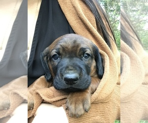 Bavarian Mountain Hound Puppy for sale in BIRMINGHAM, PA, USA