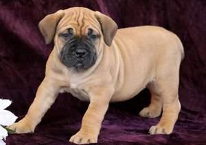 Boerboel Puppy For Sale in MOUNT JOY, PA, USA