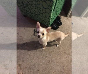 Chihuahua Puppy for sale in MYRTLE BEACH, SC, USA