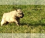 Small Photo #9 Bouvier Des Flandres Puppy For Sale in AMBOY, WA, USA