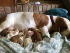 Basset Hound Puppy For Sale in GREENFIELD, IN