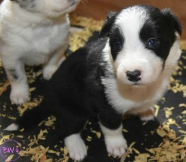 Border Collie Puppy For Sale near 98672, White Salmon, WA, USA